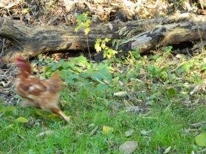 hen on the run