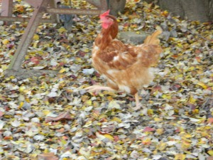 molting Rhode Island Red