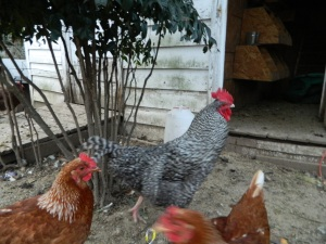 Bart the barred rooster.