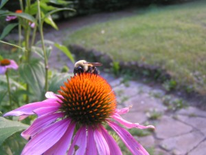 Echinacea a.k.a purple cone flower & bumble bee.