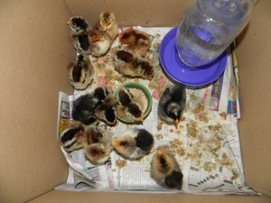 14 fluffy chicks