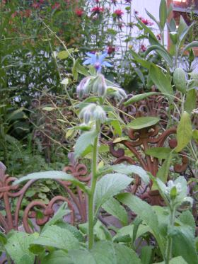 borage & bee balm