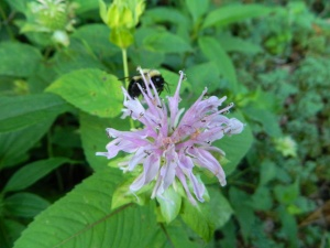 Bee Balm with bumble bee