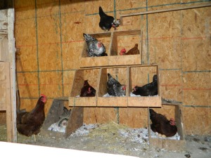 back-up in the nesting boxes