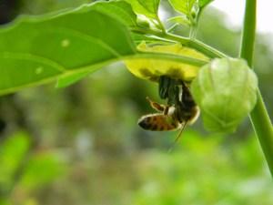 Bee proboscis.