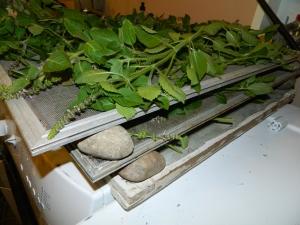 Drying Tulsi