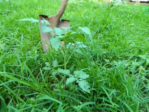 tomato plant in back yard