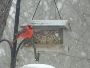 snow cardinal